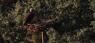 Dos parejas de buitre negro se establecen por primera vez en nidos artificiales instalados con ayuda de la Junta en Portugal