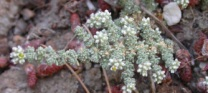 Medio Ambiente elige al 'rompepiedras de yesos' como planta del mes en el Jardín Botánico 'Umbría de la Virgen'