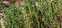 La Junta mejora el estado de conservación del tomillo carnoso en las Marismas del Río Piedras y Flecha de El Rompido