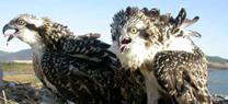 Medio Ambiente confirma el incremento de la población reproductora de águila pescadora en Andalucía