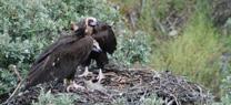 Nace un segundo pollo de buitre negro en los nidos artificiales  colocados en Portugal con ayuda de la Junta