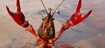 Fiscal destaca que el Plan de Control del Cangrejo Rojo  ha permitido restablecer la normalidad en el sector