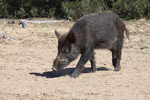 La Junta declara en municipios de Cádiz, Málaga y Sevilla el área de emergencia cinegética temporal por daños de cerdos asilvestrados