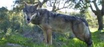 La propuesta de catalogación del lobo como especie amenazada se abordará en el próximo Consejo Andaluz de Biodiversidad