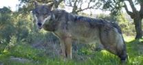 Medio Ambiente liderará un nuevo proyecto Life de Gobernanza y Comunicación Ambiental para la recuperación del lobo ibérico