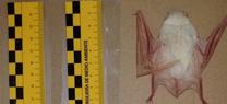 Medio Ambiente registra un murciélago de cueva blanco, un hallazgo excepcional en España