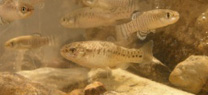 La Junta repuebla el río Salado de Morón de la Frontera con 250 ejemplares de pez salinete, especie en peligro de extinción