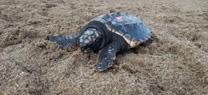 La Junta libera 13 tortugas bobas en la playa de San Juan de Terreros (Pulpí)