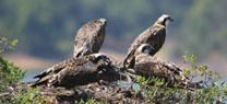 Los censos de Medio Ambiente confirman la presencia de 18 parejas de águila pescadora en Andalucía