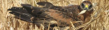 La reproducción del aguilucho cenizo alcanza este año el segundo máximo histórico con 693 nidos controlados