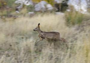 Medio Ambiente libera 20 ejemplares de corzo en el marco del Plan de Gestión de Reintroducción de la especie en Andalucía