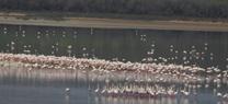 La Laguna de Fuente de Piedra cuenta en la actualidad con 11.000 parejas reproductoras de flamenco rosa en el territorio de cría