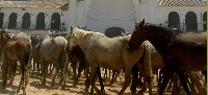 El Espacio Natural Doñana lamenta la negativa a que se celebre la Saca de yeguas pese al acuerdo total alcanzado con los ganaderos