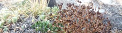 Técnicos de Medio Ambiente localizan en la Sierra de Baza una especie de flora endémica del levante peninsular