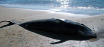 La Junta registra 4.076 varamientos de cetáceos y tortugas desde la puesta en marcha del Servicio de Emergencia en 2008