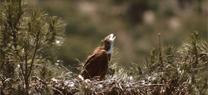 La Junta registra un nuevo máximo histórico de la población de águila imperial en Andalucía con 112 parejas nidificantes