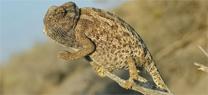 La Junta y la asociación Serbal diseñan un programa de educación ambiental sobre la conservación de los camaleones