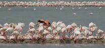 La Reserva Natural Laguna de Fuente de Piedra cuenta con 35.000 flamencos tras las lluvias de marzo y abril