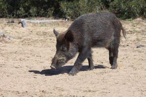 La Junta declara área de emergencia cinegética en varias provincias para evitar los daños de jabalíes y cerdos asilvestrados