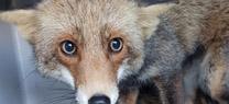 Técnicos de la Consejería de Medio Ambiente rescatan un zorro en el IFAPA de Palma del Río