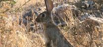 La Junta aprueba medidas cinegéticas excepcionales para evitar los daños causados por el conejo en la agricultura