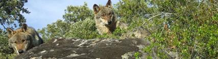 La Comisión Europea respalda las medidas adoptadas en Andalucía para abordar la situación del lobo