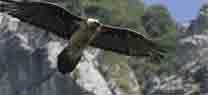 El Centro de Cría del Quebrantahuesos cierra su temporada de reproducción con siete nuevas crías