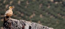 Alimoche en Andalucía