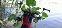 La Junta retira del Guadalquivir 1.600 kilos de camalote y activa un plan de vigilancia