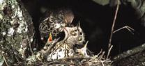 Medio Ambiente elabora un estudio para preservar el zorzal común y garantizar la actividad cinegética sostenible