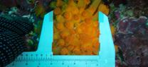Astroides calycularis
