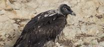 Medio Ambiente confirma el nacimiento del primer pollo de quebrantahuesos de la temporada en Guadalentín