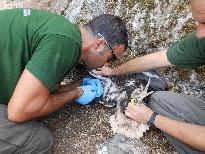 Técnicos de la Consejería de Medio Ambiente y Ordenación del Territorio han anillado este año un total de 13 pollos de alimoche