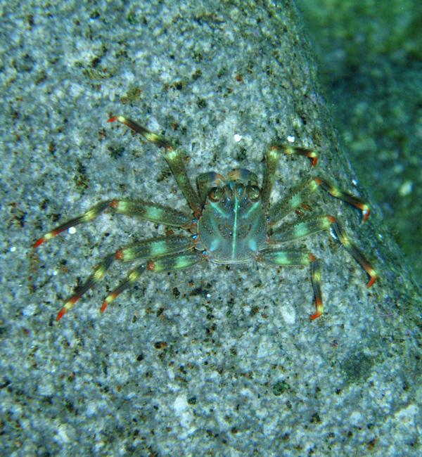especie exótica de cangrejo