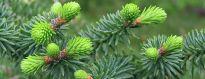 Detalle de la rama del pinsapo