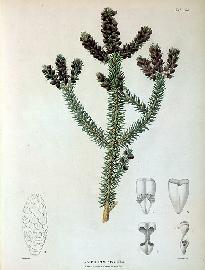 Fruto pinsapo