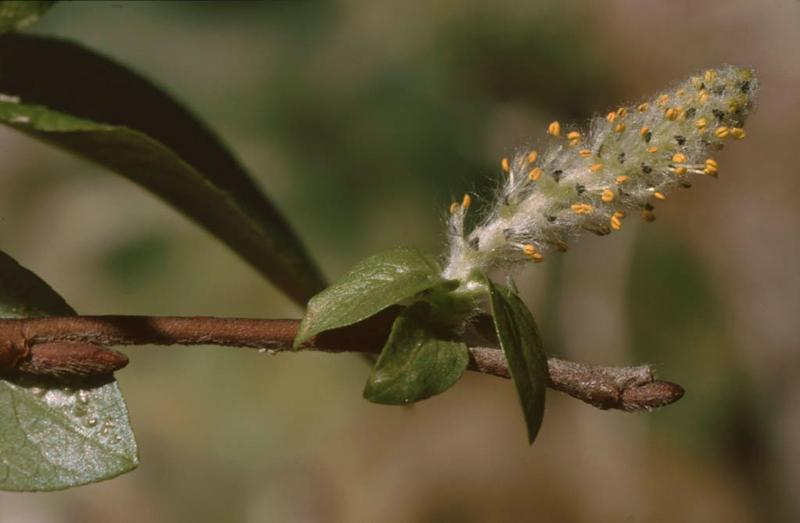 Salix hastata subsp. sierrae-nevadae