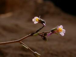Linaria tursica (Héctor Garrido)