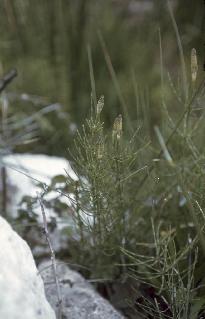 Cola de caballo (Equisetum palustre L)
