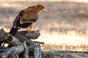 Águila Imperial Ibérica. Autor: Daniel Burón