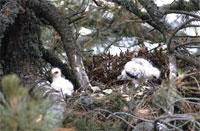 Nido de águila imperial con aguiluchos