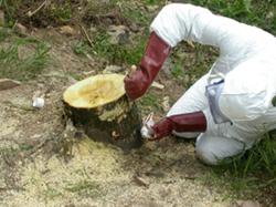 Operario aplicando tratamiento químico en tocón de ailanto