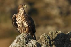 Aguila perdicera subadulta. Tercera muda