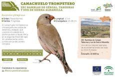 Camachuelo trompetero