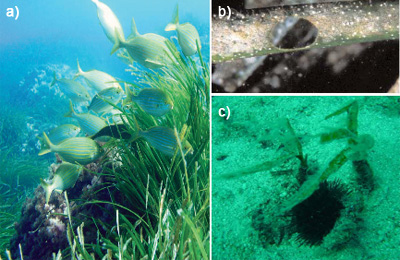 Some typical herbivores in Posidonia meadows