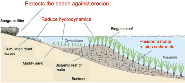 Scheme of processes mediated by Posidonia meadows that contribute to prevent beach erosion
