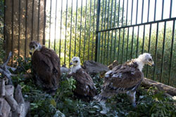 Hacking de águila imperial en La Janda (Cádiz)