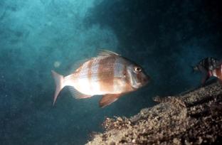 El grupo de peces concentra el mayor número de especies cultivadas en el litoral andaluz.