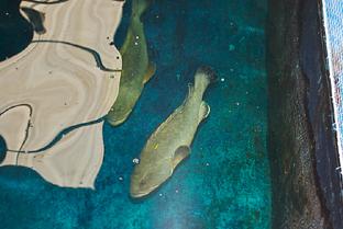 Ingenieros andaluces han logrado recientemente la primera generación de meros criados en cautividad.