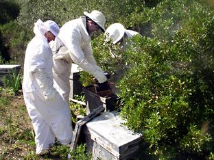 Trabajos de apicultura.